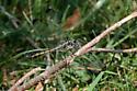 Libellula vibrans - female