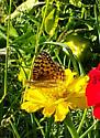 Possible Hydaspe fritillary butterfly? - Speyeria