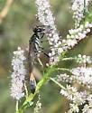 Thread-waisted wasp - Ammophila juncea - female
