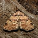 Metalectra cinctus - Hodges#8508 - Metalectra cinctus