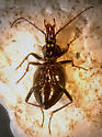 Slug/Snail Killer  - Scaphinotus marginatus