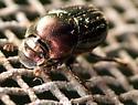 dung beetle - Onthophagus orpheus - female