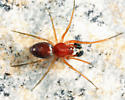 spider - Emblyna sublata - male