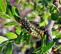 Lepidoptera i.d. ? - Norape virgo