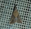 Sooty Bomolocha Moth - Hypena minualis