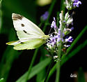 Butterfly (unknown name) - Pieris rapae