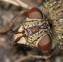 Archytas sp? - Epalpus signifer