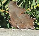 Polygonia comma - female