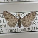 Eupithecia jejunata - female