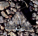 Arizona Moth - Forsebia cinis