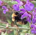 Nevada Bumble Bee - Bombus nevadensis