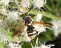 wasp - Hoplitimyia constans - female