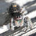 Jumping Spider (Salticidae) - Phidippus audax