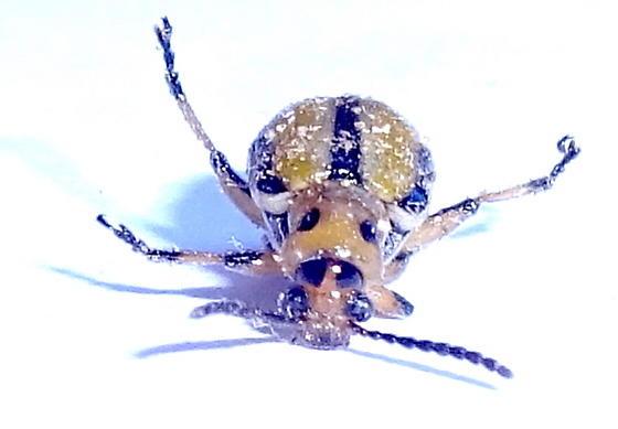 cucumber beetle  ?