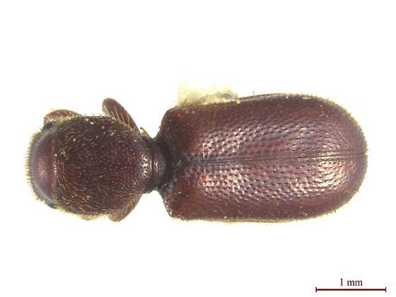 Thaneroclerus buquet (Lefebvre) - Thaneroclerus buquet