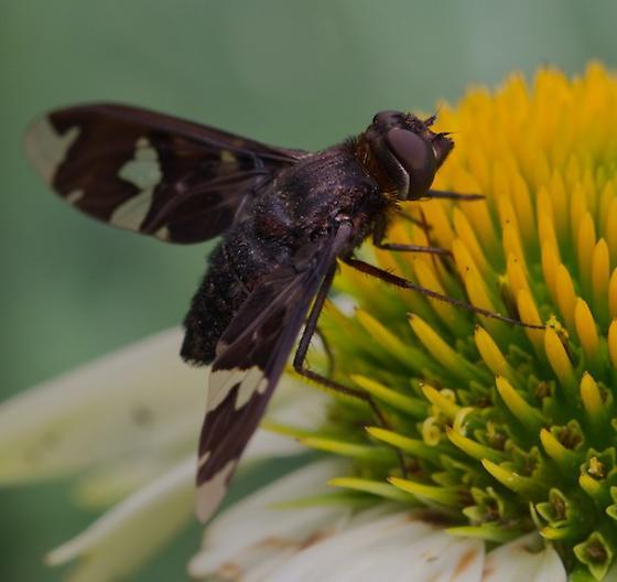 Flower Fly? What Species? - Exoprosopa decora