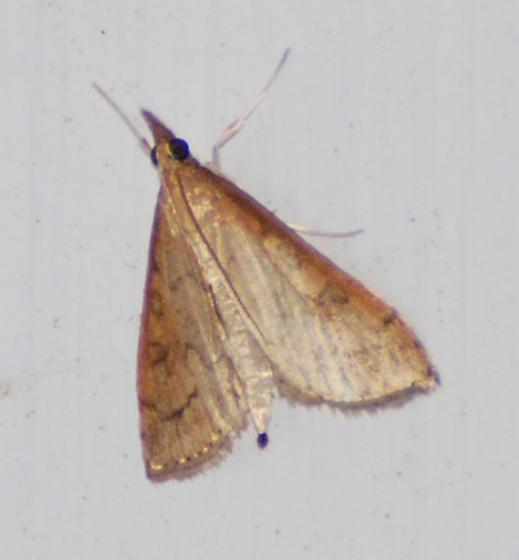Yellowish Moth - Udea rubigalis