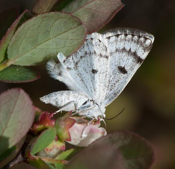 Mystery butterfly - Lomographa semiclarata