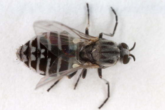Unknown Fly - Simulium - female