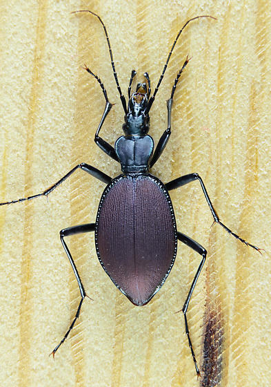 Scaphinotus angusticollis? - Scaphinotus angusticollis