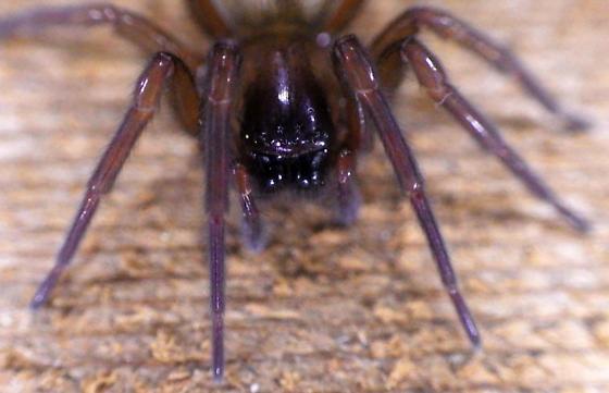 possible Orb spider variant? - Callobius