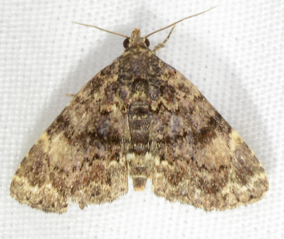 Metalectra richardsi - Richards' Fungus Moth - Metalectra richardsi