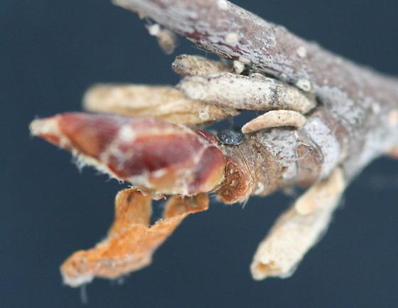 Pupal cases? - Coleophora serratella