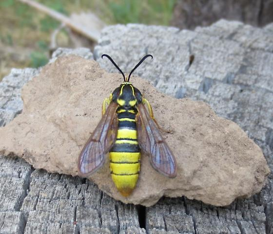hornet moth  - Sesia tibiale - female
