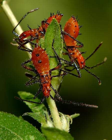 Unidentified Nymphs