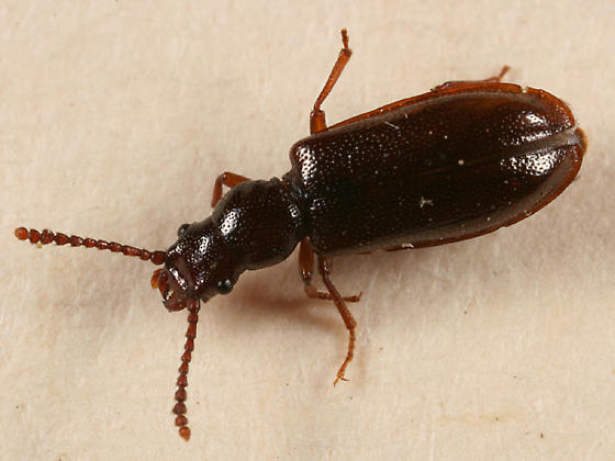 beetle - Priognathus monilicornis