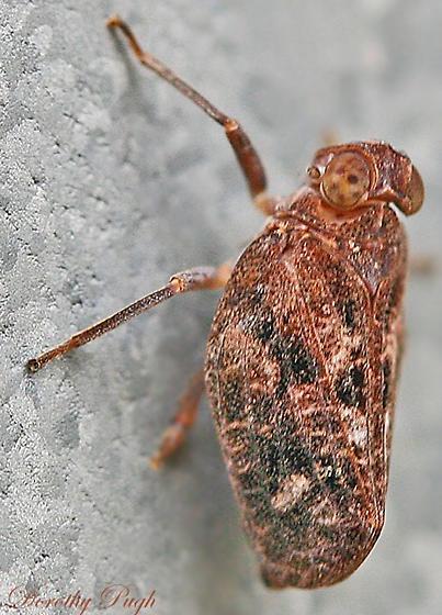 Issid planthopper (Picumna genus)? - Thionia bullata