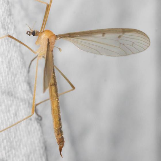 Crane fly - Pedicia inconstans - female