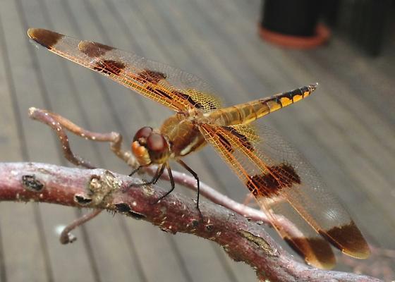 Painted Skimmer - Libellula semifasciata - Libellula semifasciata - male