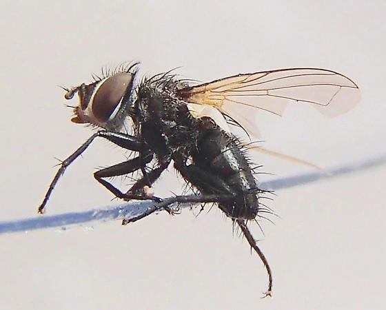 Fly - Leucostoma - male