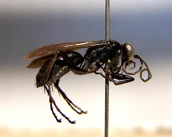 Anoplius virginiensis - female
