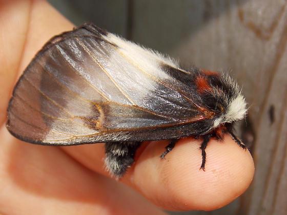 7732 New England Buck Moth - Hemileuca lucina