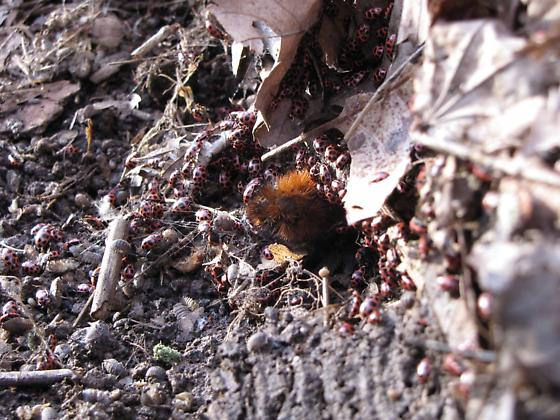 Coleomegilla maculata overwintering cluster? - Coleomegilla maculata
