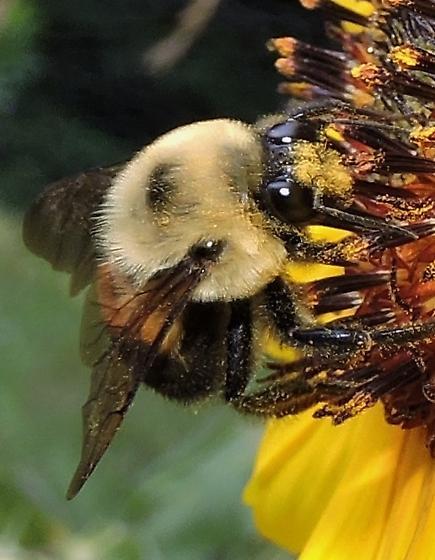 bumble bee sp? - Bombus griseocollis