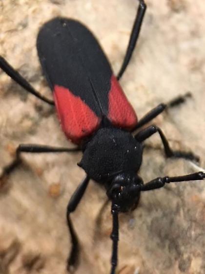 Black and red longhorn beetle. What species