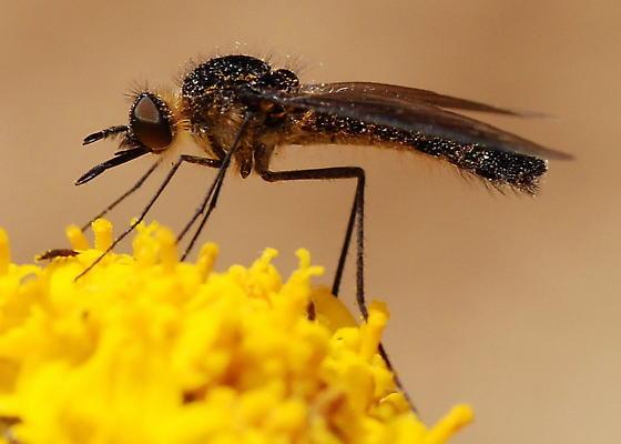 Thevenetimyia sp. on Eriophylum confertiflorum - Thevenetimyia