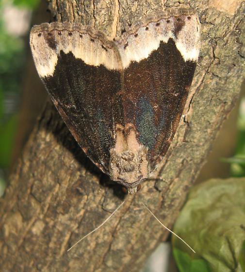 midsize moth - Catocala innubens