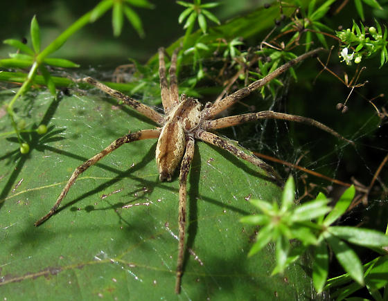 Spider - Pisaurina mira