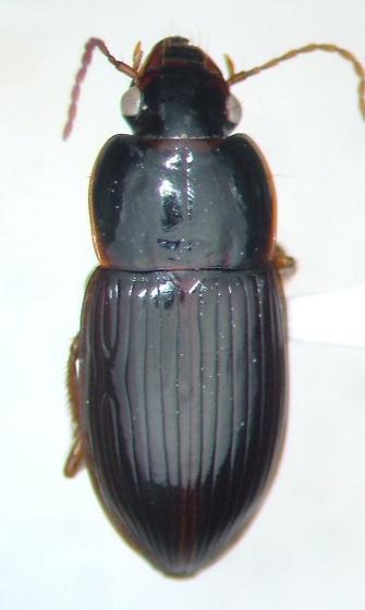 Harpalus fulgens - Trichotichnus fulgens - female