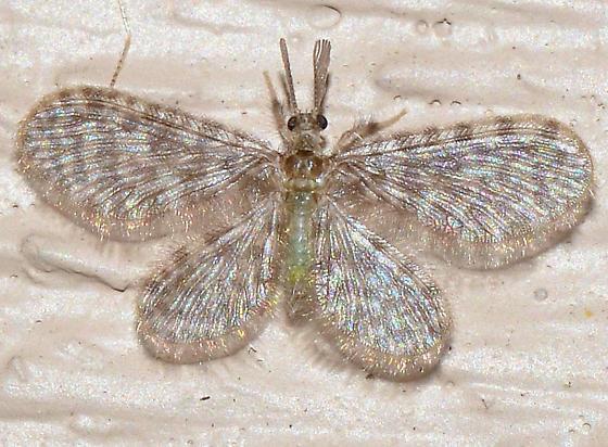 ? - Nallachius americanus - male