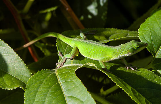 Anoles in the bushes