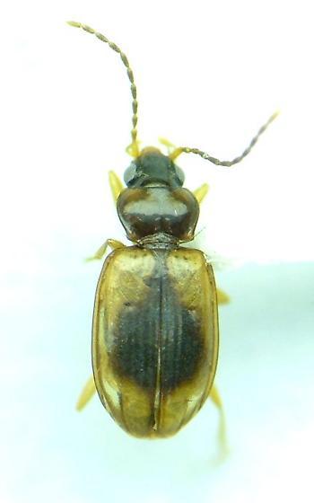 Paratachys proximus - Tachys proximus - male