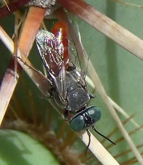 Square-headed Wasp - half-red - female