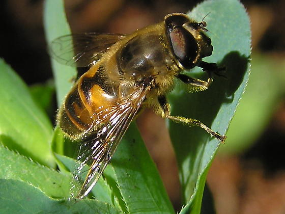 Another fly to ID please. - Eristalis tenax - male