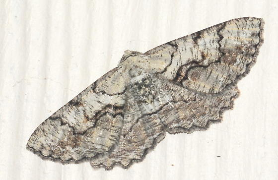 Please help us to identify this moth. - Cymatophora approximaria - male