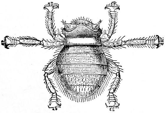 Bee Louse - Braula coeca